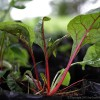 Beets – How to Grow Them
