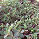 Purslane – a Wild Superfood Weed