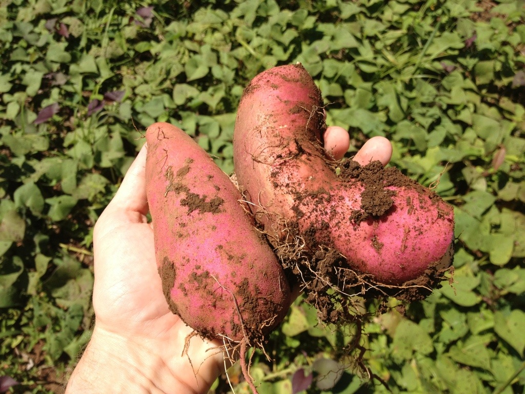 Sweet Potato (Camote) grown organically in Montezuma, Costa Rica