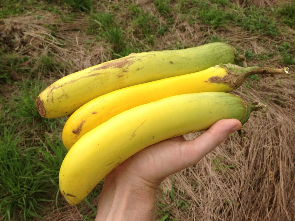 Yellow eggplants grown organically