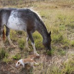 Pregnant horse with chihuahua