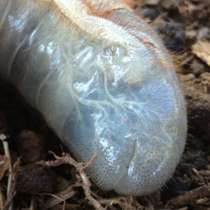 transparent underground insect / grub