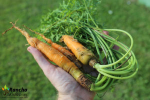 How to Grow Carrots in the Tropics