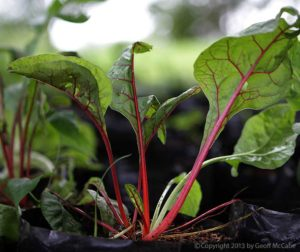 Beets Growing in the Tropics