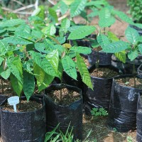 Cacao - Chocolate Trees Growing from Seed