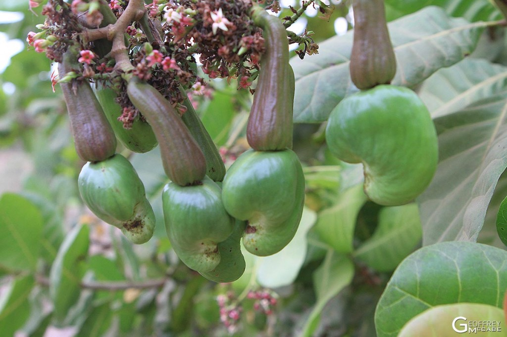 Cashew Nuts with Immature Fruits