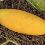 Yellow and Green Cucumbers