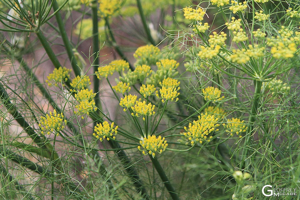 Fennel Flowers for Pollen