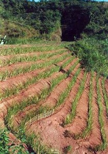 Vertiver for erosion control in Madagascar