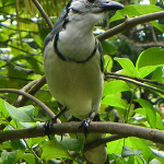 Costa Rica Bluejay