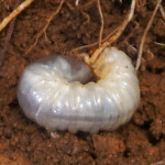 Insect Pests and Solutions