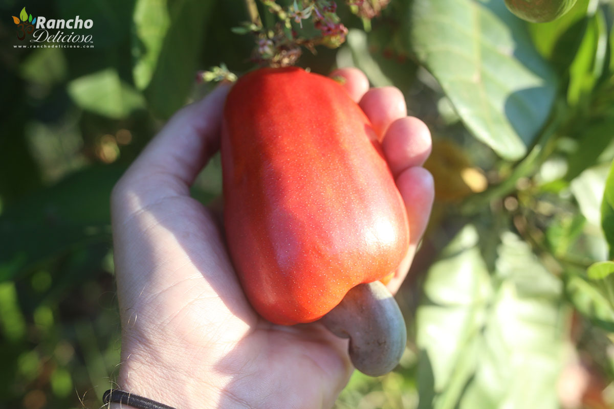 Cashew Fruit