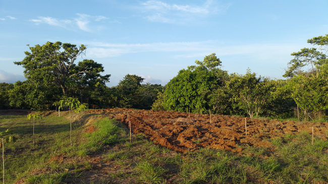Lot 1 - Plowed for Planting Plantains and Yucca