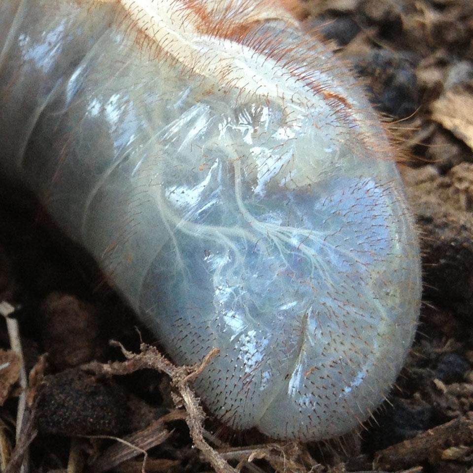 Rhinoceros Beetle Larvae